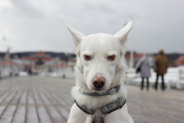 White Swiss Shepherd X Kelpie Mix :) Misha