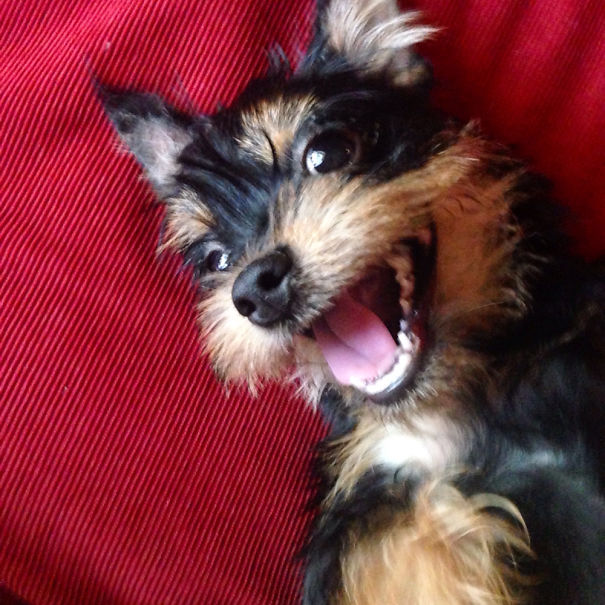 Shih Tzu Bichon Puppies for Sale | Shih Tzu Bichon Breeder ...