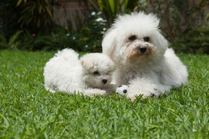 Father And Son Bichon Frisé