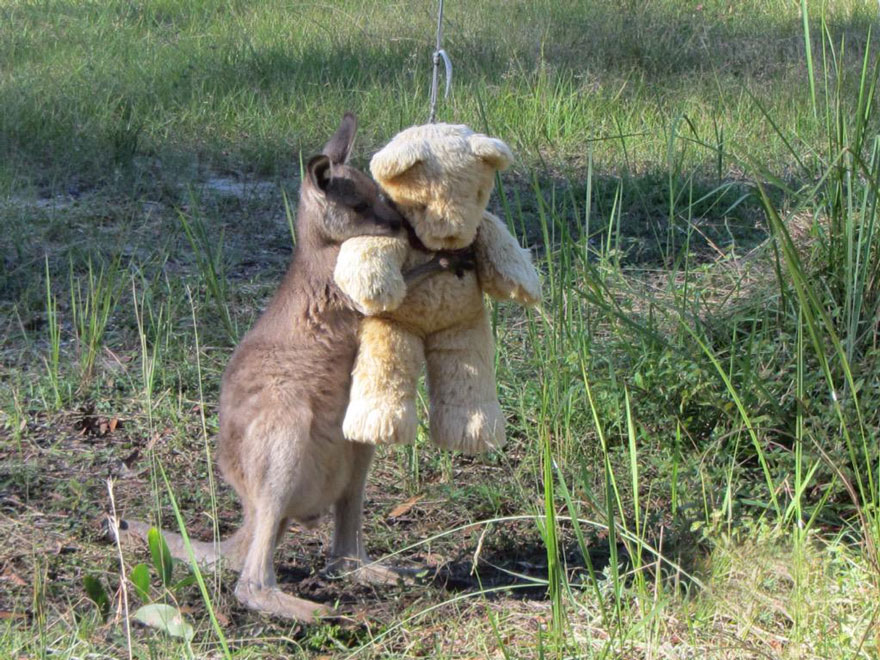 orphaned-kangaroo-teddy-bear-1