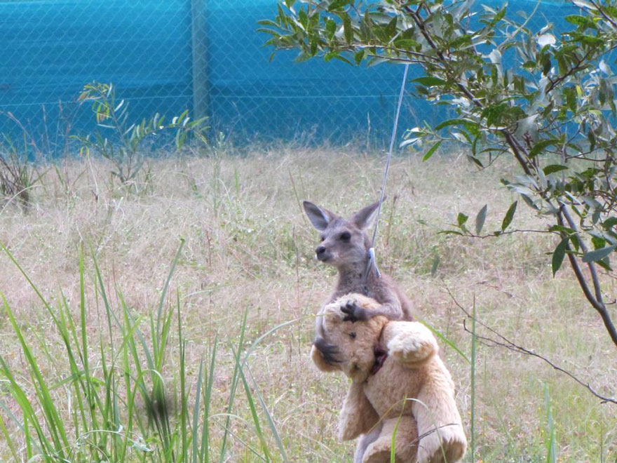 orphaned-kangaroo-teddy-bear-2
