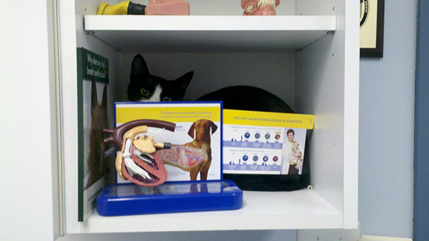 This Cat Is Desperately Hiding At The Vet