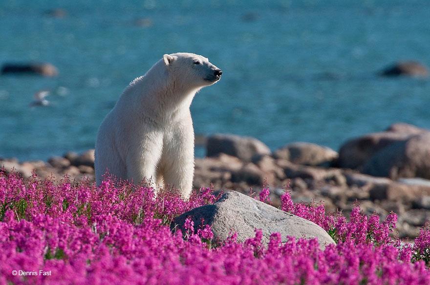 Biały niedźwiedź na kwitnącej łące