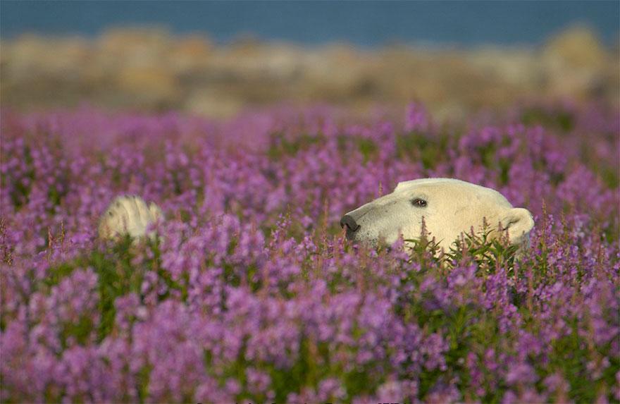 polar-bear-playing-flower-field-dennis-fast-19