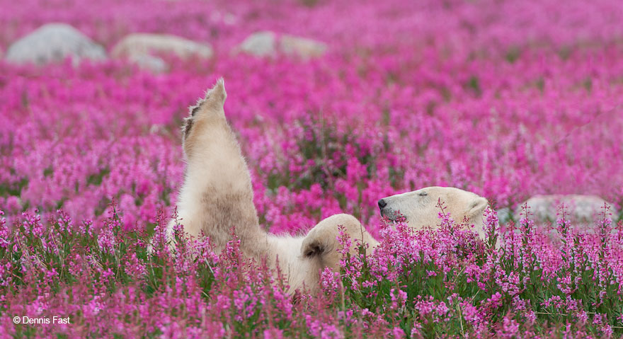 Canadian photographer captures polar bears playing in flower fields polar bear playing flower field dennis fast 21 mightylinksfo Gallery