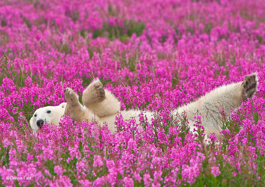 polar-bear-playing-flower-field-dennis-fast-22