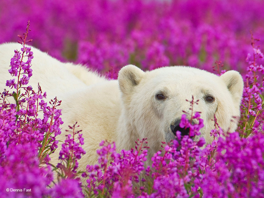 polar-bear-playing-flower-field-dennis-fast-23