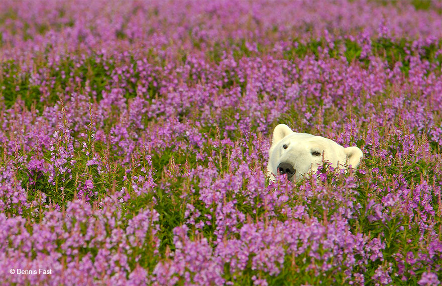polar-bear-playing-flower-field-dennis-fast-24