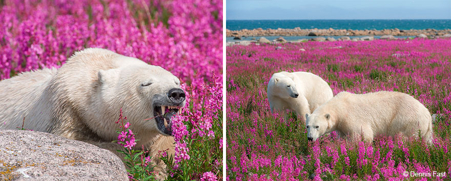 polar-bear-playing-flower-field-dennis-fast-25