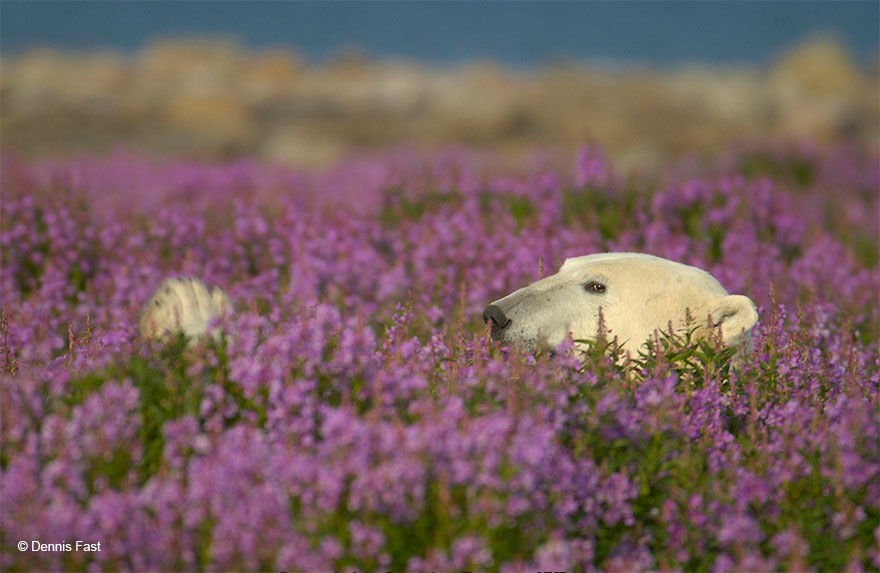 polar-bear-playing-flower-field-dennis-fast-26
