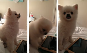 This Pomeranian Has The Cutest Sneeze You'll Ever See (Watch With Sound!)