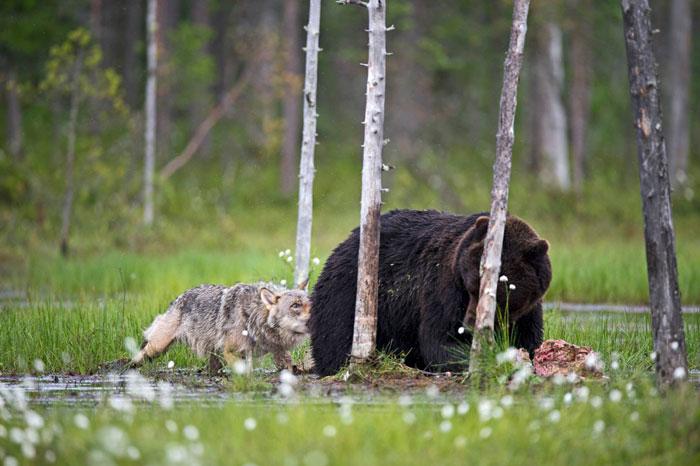 rare-animal-friendship-gray-wolf-brown-bear-lassi-rautiainen-finland-14