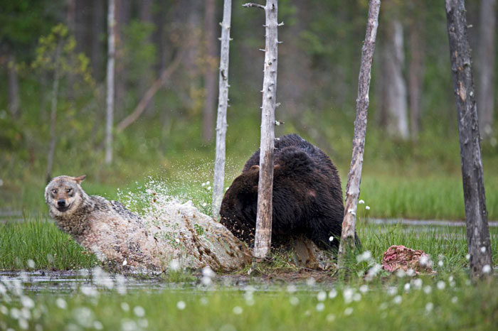 rare-animal-friendship-gray-wolf-brown-bear-lassi-rautiainen-finland-15