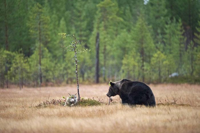 rare-animal-friendship-gray-wolf-brown-bear-lassi-rautiainen-finland-5
