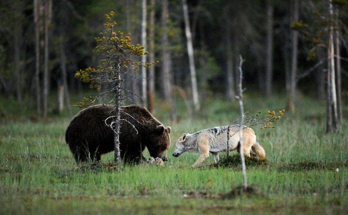 rare-animal-friendship-gray-wolf-brown-bear-lassi-rautiainen-finland-8