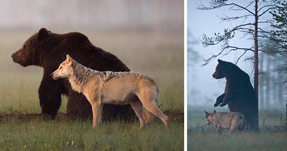 Unusual Friendship Between Wolf And Bear Documented By