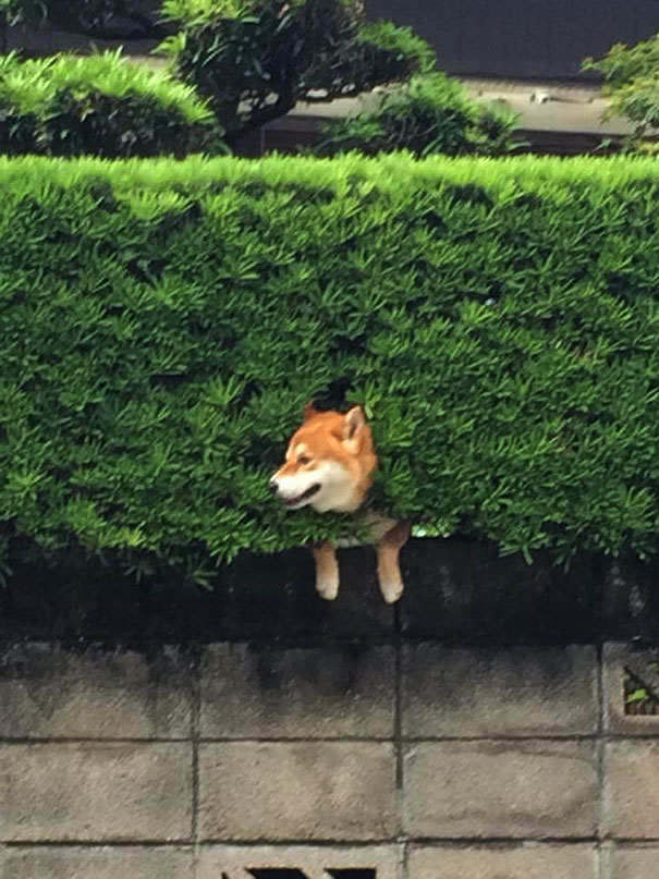 Dog Friendly Hedges