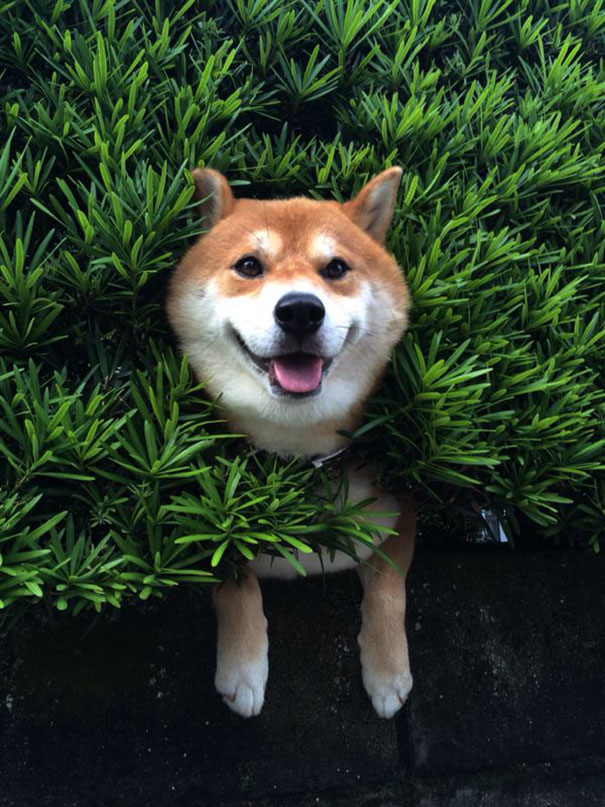 Shiba Inu Gets Stuck In Bush Pretends Everything Is OK