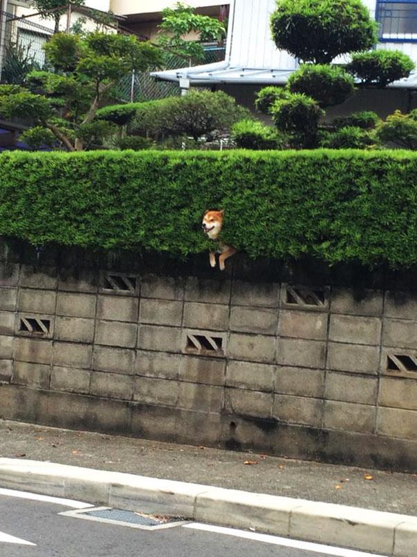 shiba-inu-stuck-in-bush-japan-3.jpg