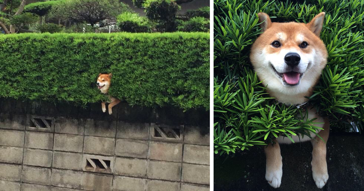 Shiba inu gets stuck in bush pretends everything is ok bored panda solutioingenieria Choice Image