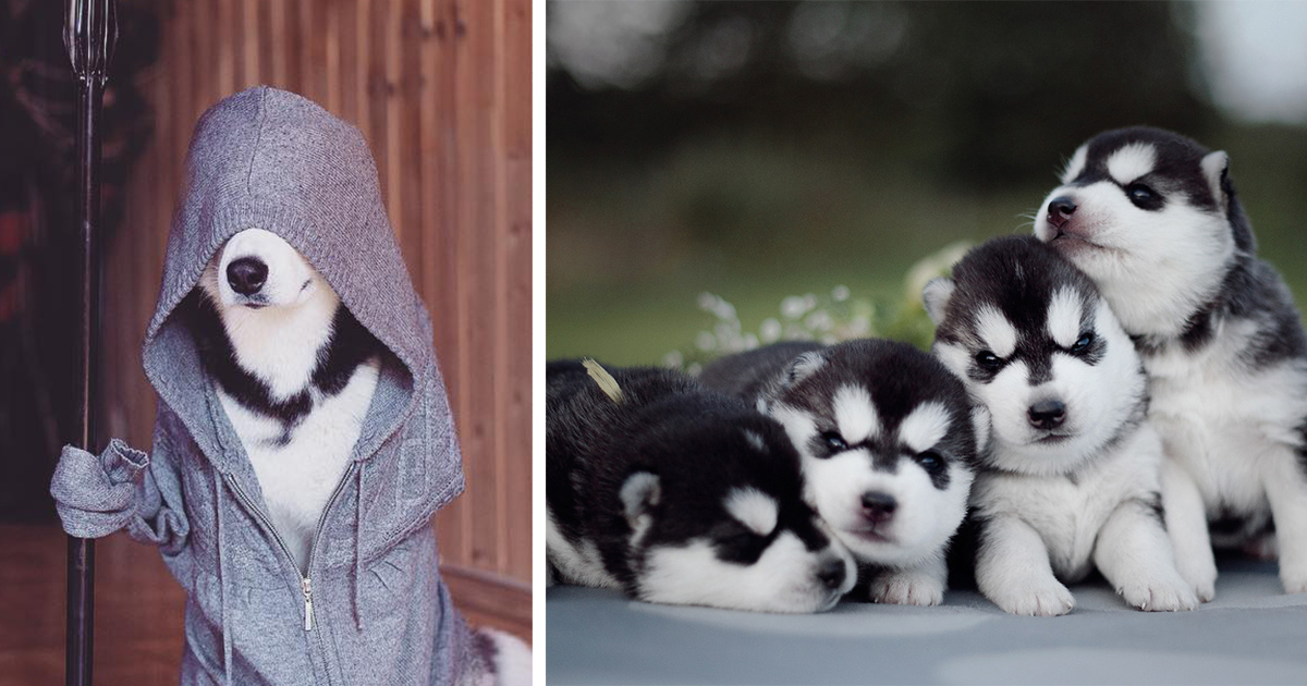 This Russian Photographer S Instagram Is 100 Pure Husky Bored Panda The best gifs for life with malamutes. instagram is 100 pure husky bored panda