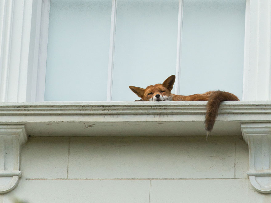 Fox Spotted Napping On Second Story Window Ledge In London