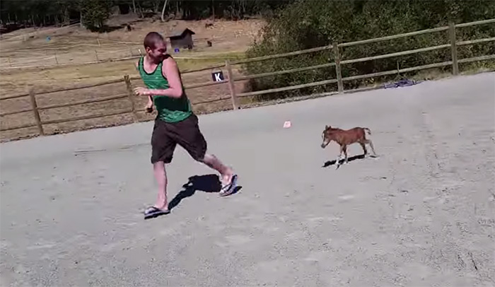 tiniest-miniature-horse-chasing-1