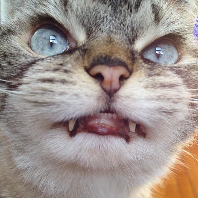 vampire-angry-cat-loki-10