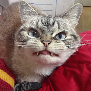 Adopted Vampire Cat 'Loki' Has The Most Evil Look Ever