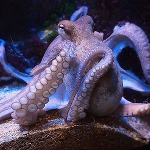 The Octopus Has Three Hearts. Two Of The Hearts Pump Blood Through The Gills, While The Third Heart Pumps Blood Through The Rest Of The Body.