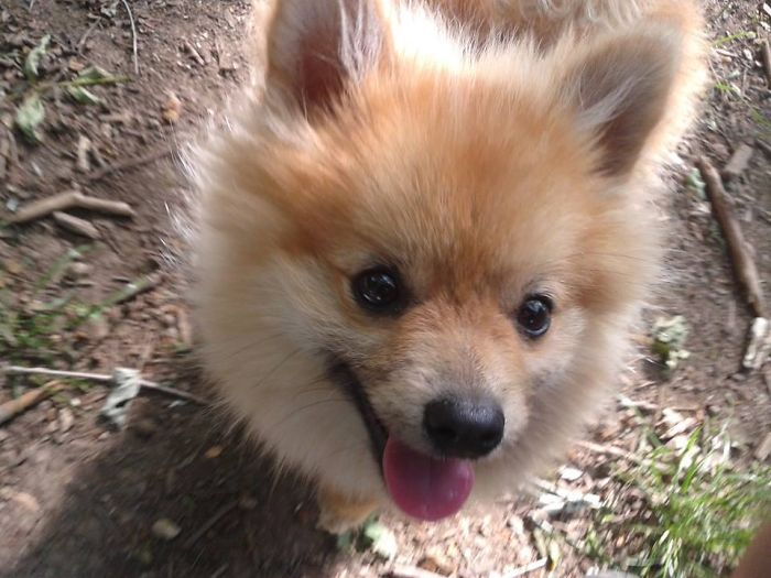 Toni, The Happy Pomeranian!