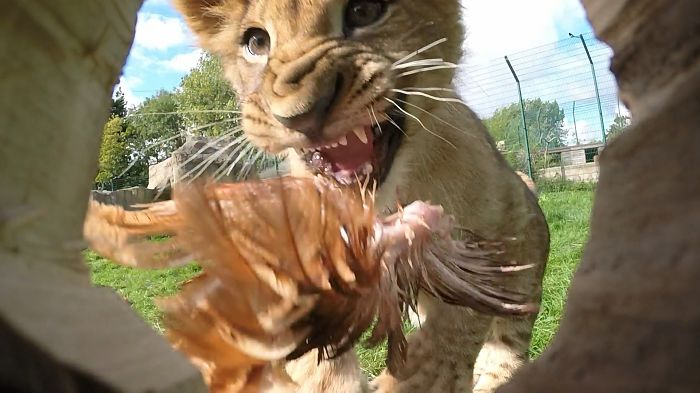 Lion Cub V Log Cam