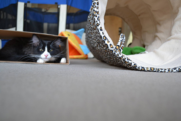 Typical Kitten Logic: Ignore The $50 Cat Tunnel, Play With The Box Instead