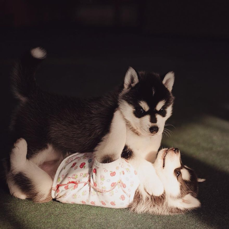 My Huskies Have Mastered The Art Of Dressing Up