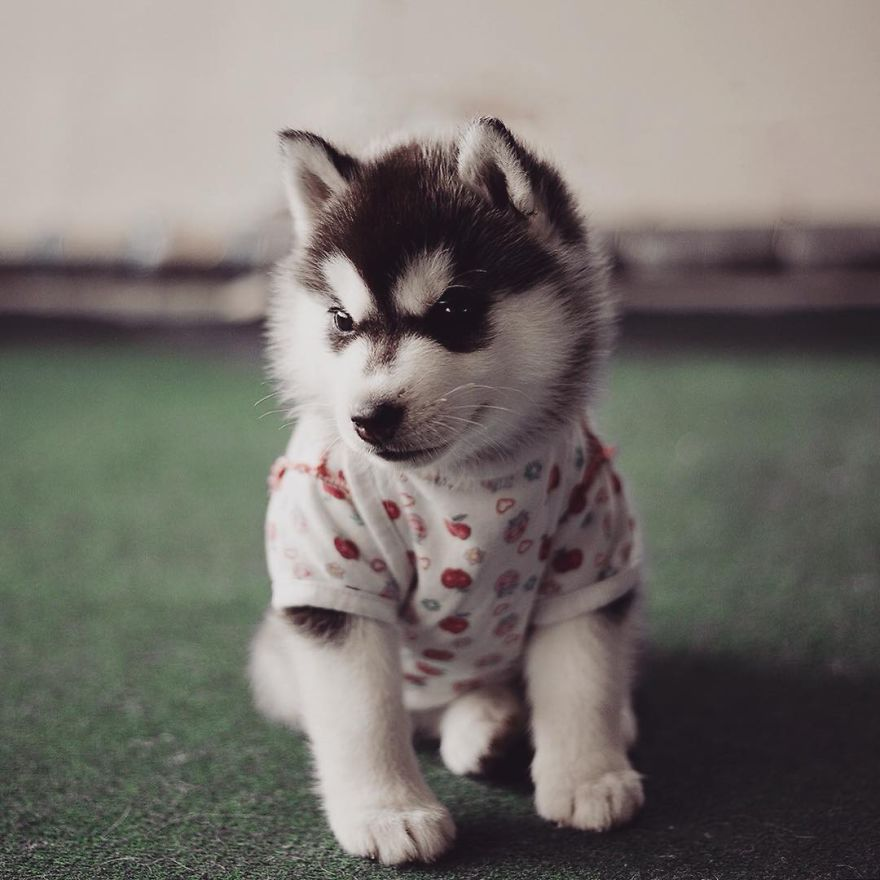 Fabuloso My Huskies Have Mastered The Art Of Dressing Up | Bored Panda NF83