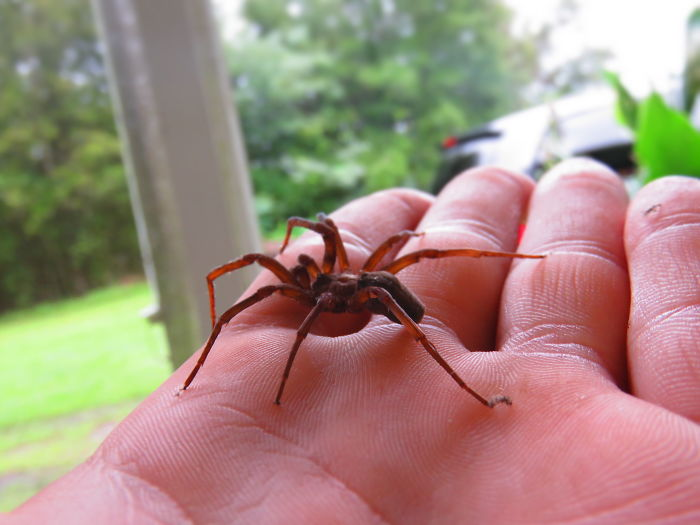 Insane Kid Lets The Largest Brown Recluse Spider In The World Crawl Across The Palm Of His Hand