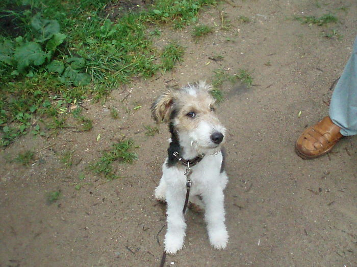 The Happiest Fox Terrier Darcy. Miss You, Pup