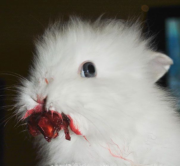 Bunny Eating Cherries