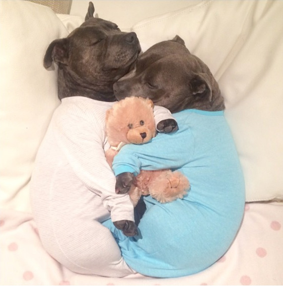cute-dog-brothers-staffie-pit-bull-terriers-blueboys-119