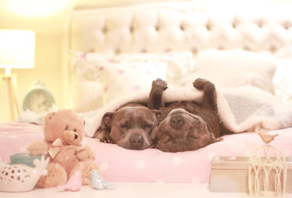 cute-dog-brothers-staffie-pit-bull-terriers-blueboys-121
