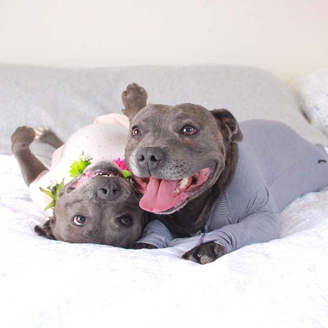 Adorable Pit Bull Brothers Will Instantly Make Your Day ...