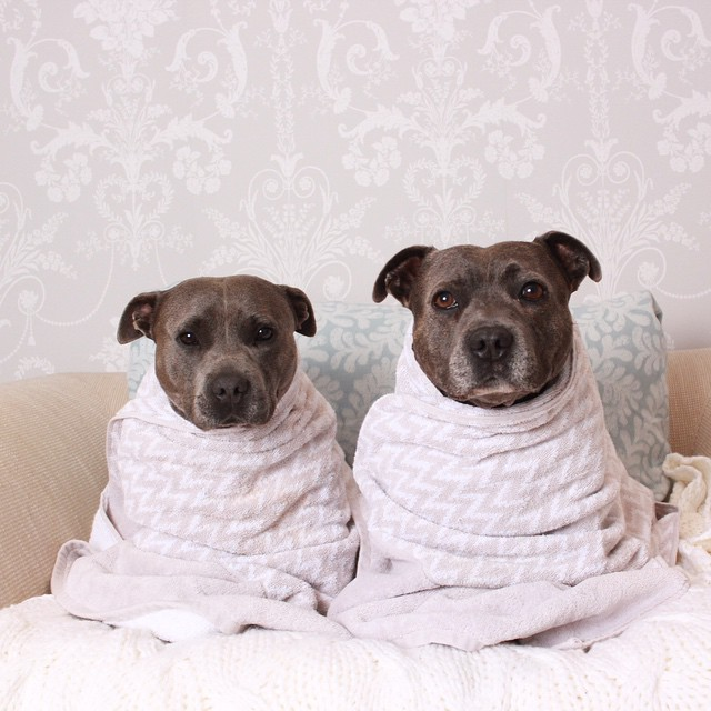 cute-dog-brothers-staffie-pit-bull-terriers-blueboys-43