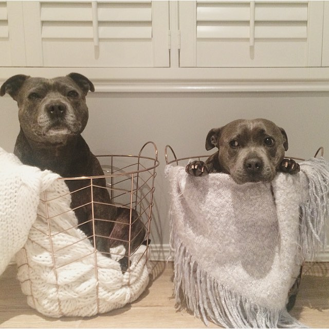 cute-dog-brothers-staffie-pit-bull-terriers-blueboys-72