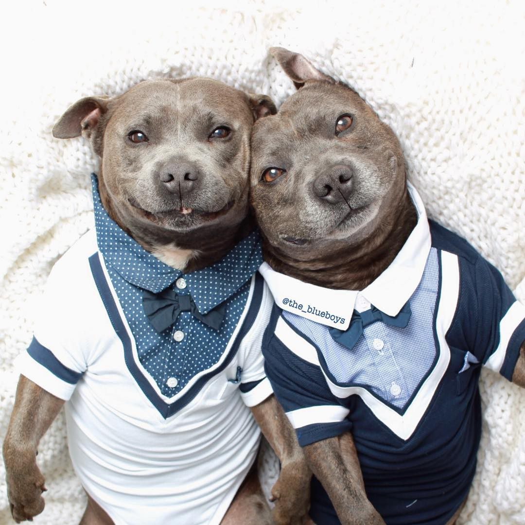 cute-dog-brothers-staffie-pit-bull-terriers-blueboys-74