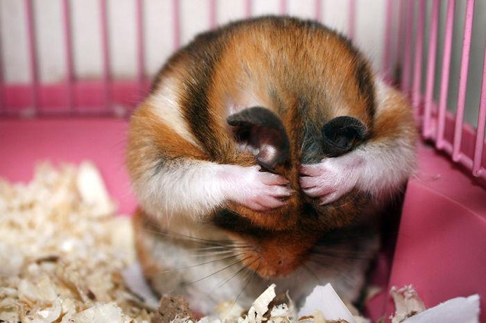 cute hamster hamsters panda cutest adorable