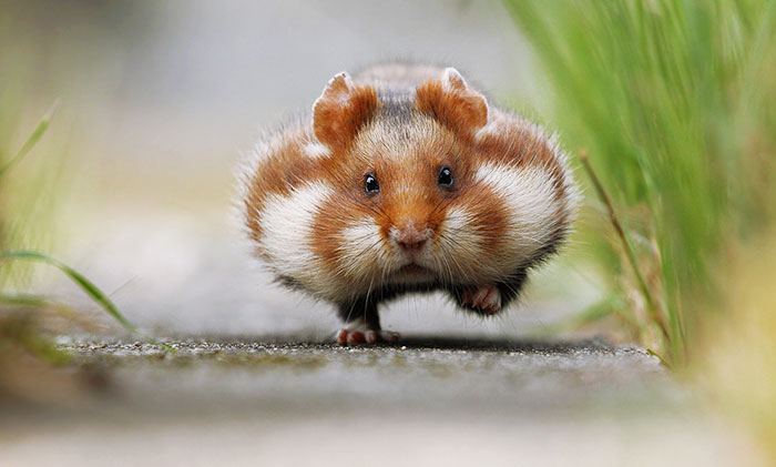 156 Adorable Hamsters That Will Cause A Cuteness Overload