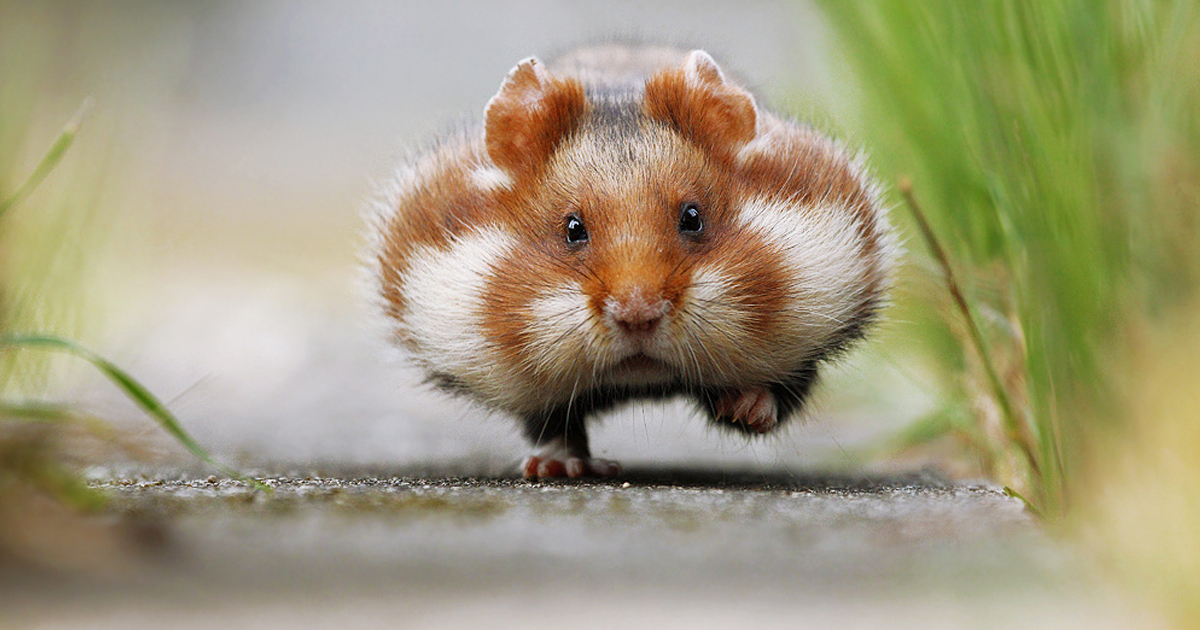 156 adorable hamsters that will cause a cuteness overload bored panda