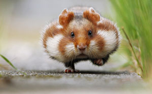 15+ Adorable Hamsters That Will Cause A Cuteness Overload