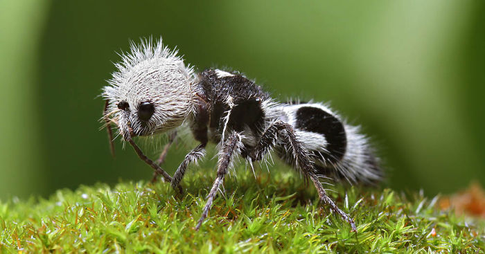 This Cute Panda Ant Is Actually A Cow Wasp Bored