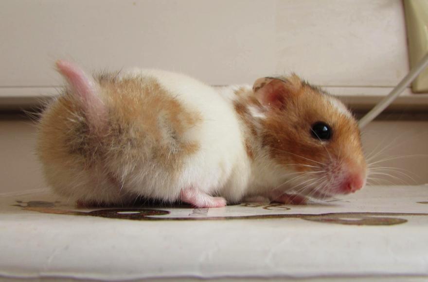Cute Hamster Butt